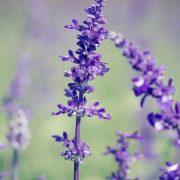 Lavender-600x600_grande