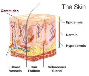 ceramidas en la piel